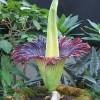Corpse Flower, Amorphophallus Titanum, Ready to Bloom at U.S. Botanic Garden in Washington D.C.