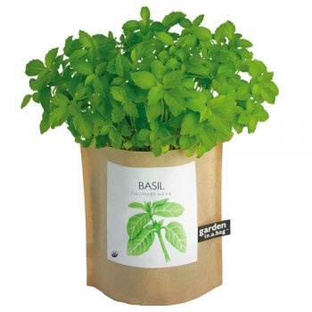 Greek columnar Basil keeps it flavor all season and it is a great deterent to keep flies away.