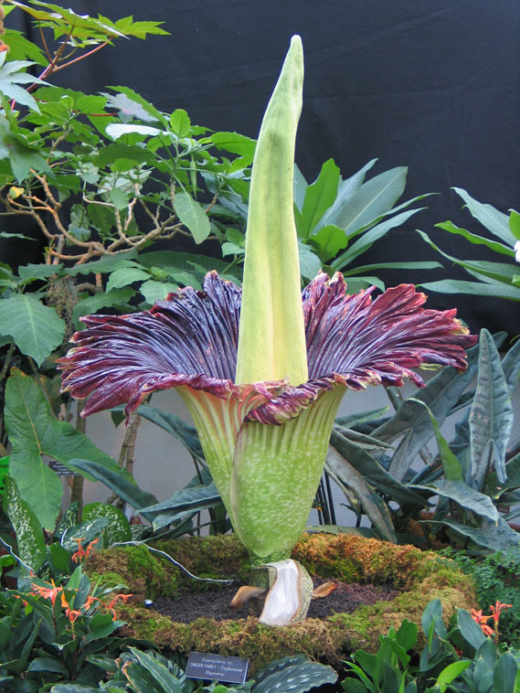 Corpse Flower, officially known as Amorphorphallus Titanum, is expected to bloom this week at U.S. Botanic Garden Conservatorium. Watch it here on the live video feed.